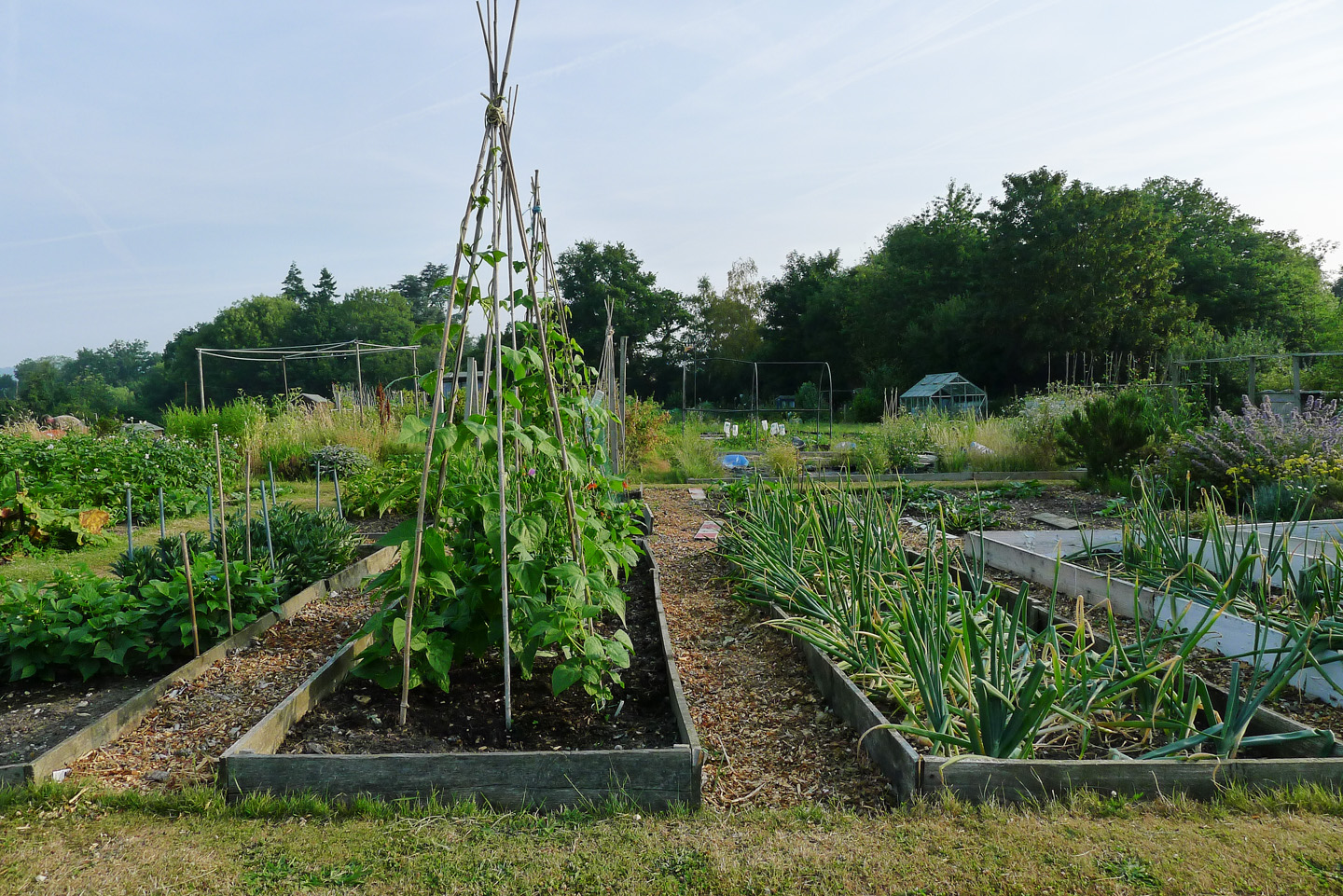 bean canes on an allotment