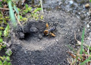 Solitary Bees at the Heath